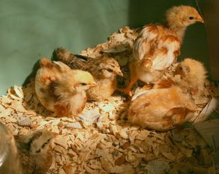 Five Chicks